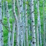 花粉の原因となる木!シラカバ、マツ、イチョウ
