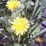 花粉症の雑草!タンポポ、イラクサとエゾイラクサ、ヘラオオバコ、エゾノギシギシ、ヒメスイバ