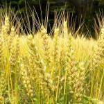 イネ科アレルギーの食べ物!米、麦茶、パン