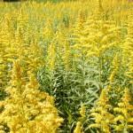 ブタクサ花粉症の対策!症状の咳に効く市販薬は?時期飛散いつまで?