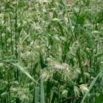 イネ科花粉症とカモガヤの対策は?アレルギー検査