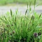 花粉症のイネ科植物!ハルガヤ、ギョウギシバ、セイバンモロコシ、ナガハグサ