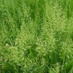 カモガヤ花粉症の咳の症状!治療やメロン、季節との関係は?