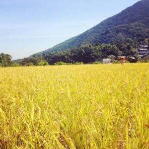 稲刈りと田んぼ
