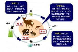 マダニの生活サイクル