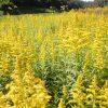 ブタクサ花粉症の飛散時期ピーク予想や画像は?