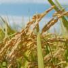イネ科の植物一覧図鑑画像!花粉症やアレルギーの原因になる?